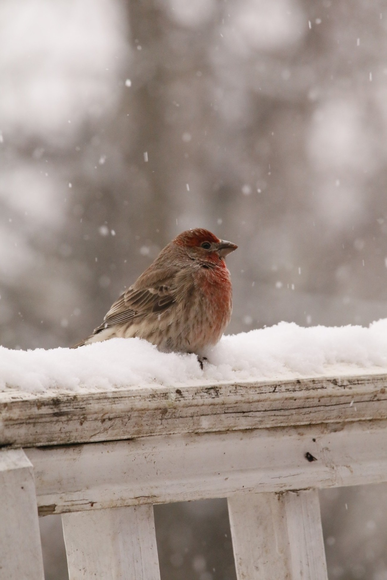 Winter snow is not common where we live. This little bird was doing all it could to stay warm.