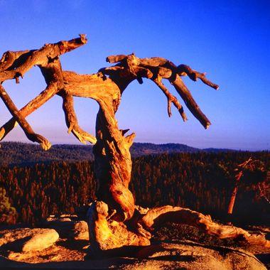 Jeffrey Pine Yosemite