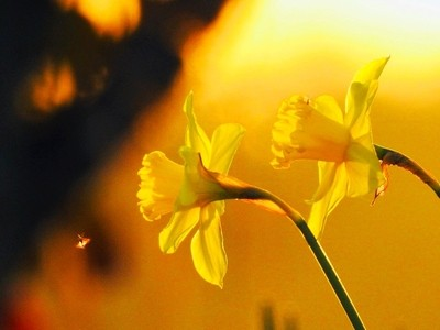 Dafodills Welcome Pollinator
