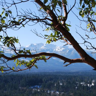 Mt Arrowsmith through the Arbutus Branches 22 feb 2018