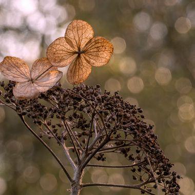 A backlit Hydrangea head in Winter.