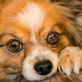 Our papillon's eyes. I call her whiskey eyes.  Her ears suggest the form of a butterfly, since they are erect.