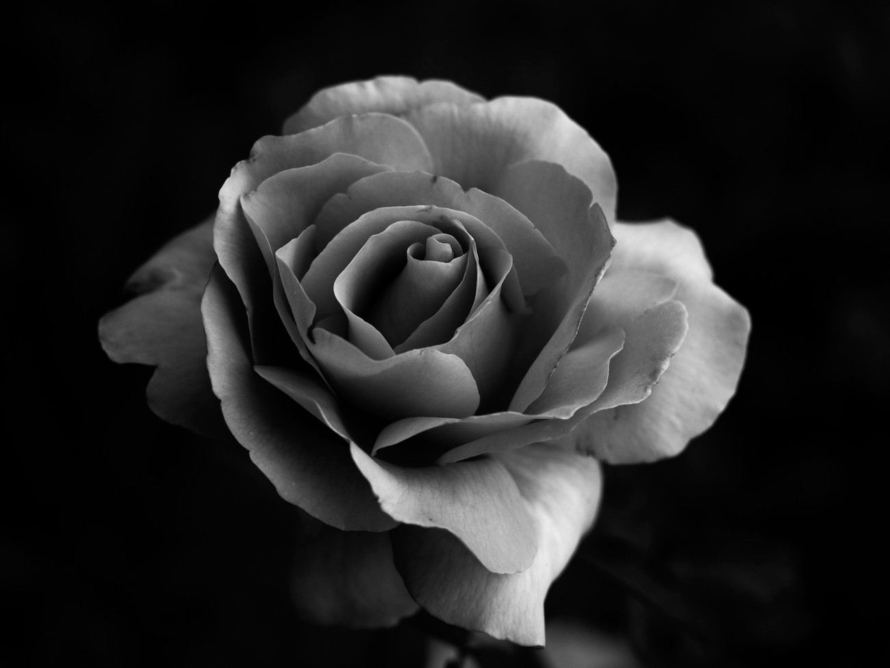 I fine this rose one that is very good to be done as a black and white photo