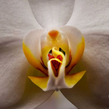 Center of an Orchid