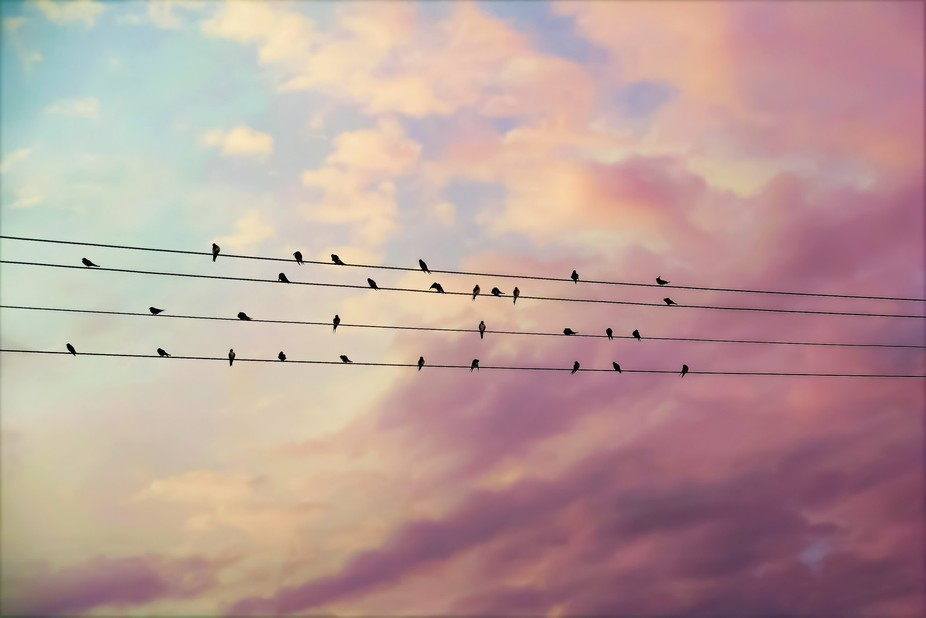 Collective noun for a group of swallows. Silhouettes against a pastel sky. Also can be called a f...