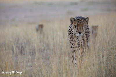Cheetah with cubs in the grassland