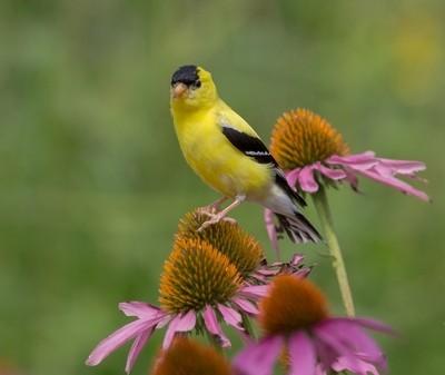 Splendor in the Garden.  Goldfinch on Coneflowers.  Ault Park in Cincinnati, Ohio.