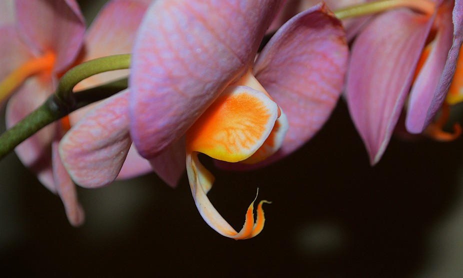 Yet another image of my beautiful Coral Topaz Orchid plant.  I just thought that this was kind of...