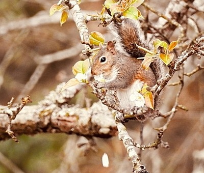 Squirrel eating pear blossoms