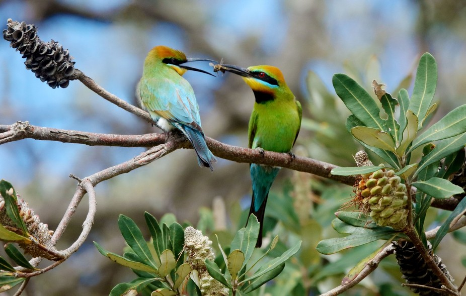 Bee eaters at mating time