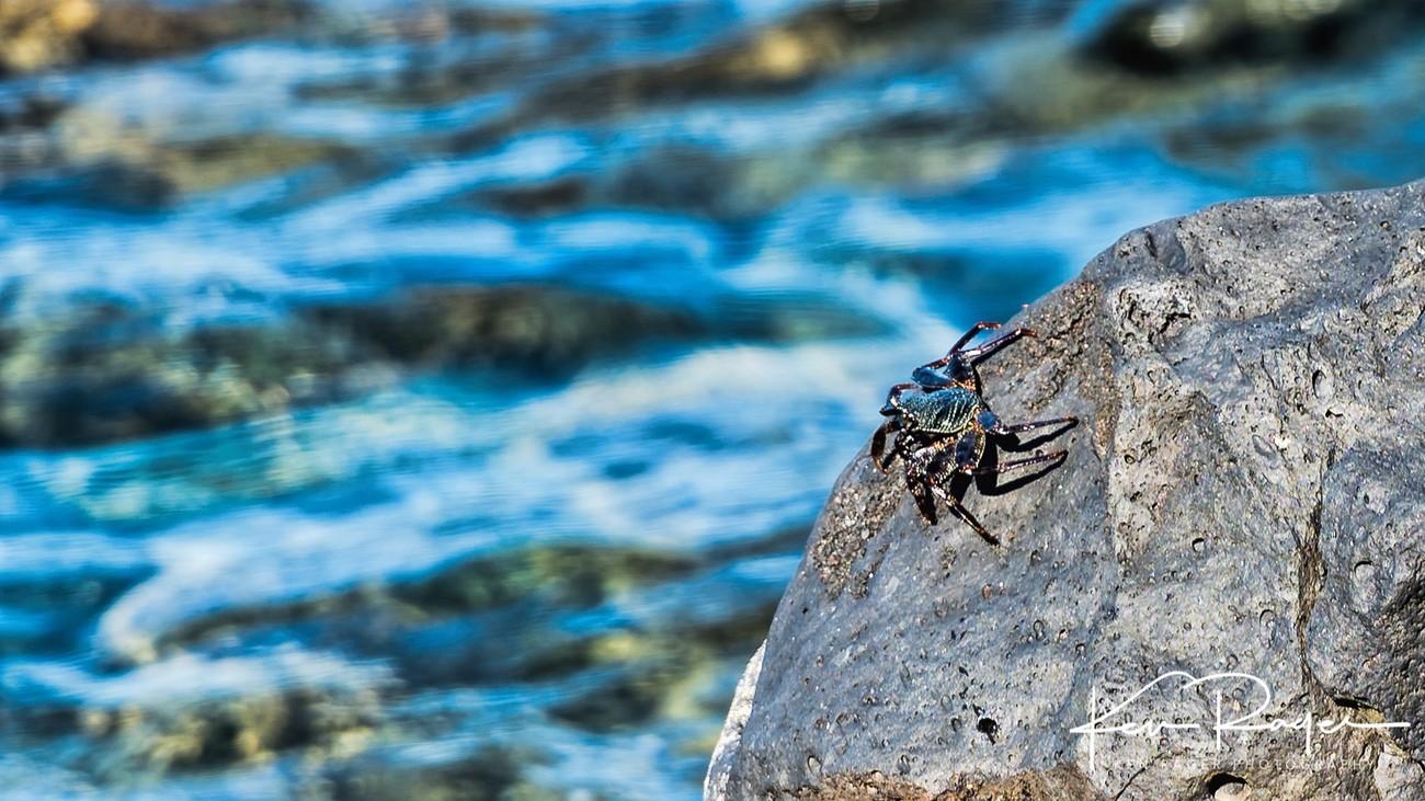 Maui Crab