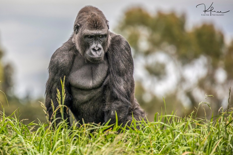 A silverback gorilla before he chased another male