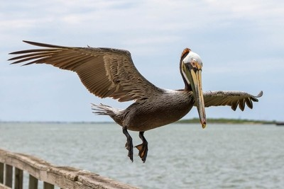 An adult Brown Pelican prepares to land on a fishing pier in Port Aransas, Texas