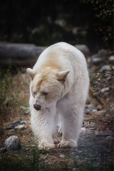 "Kermode or ""Spirit"" Bear. British Columbia, Canada."