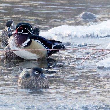 Two pairs of Wood Ducks in the Nicola  River near Merritt B C