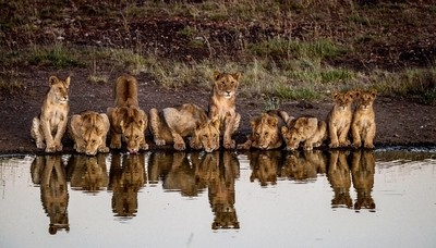 Early morning drink before a sunny day starts in the Masai Mara, Kenya!