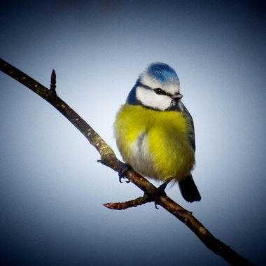Gorgeous Bluetit
