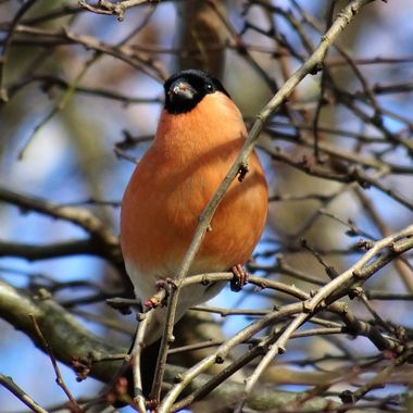Love Bullfinches they are so elegant so happy to get this capture