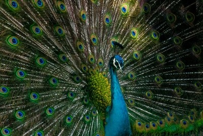 Blue Body Gaurd