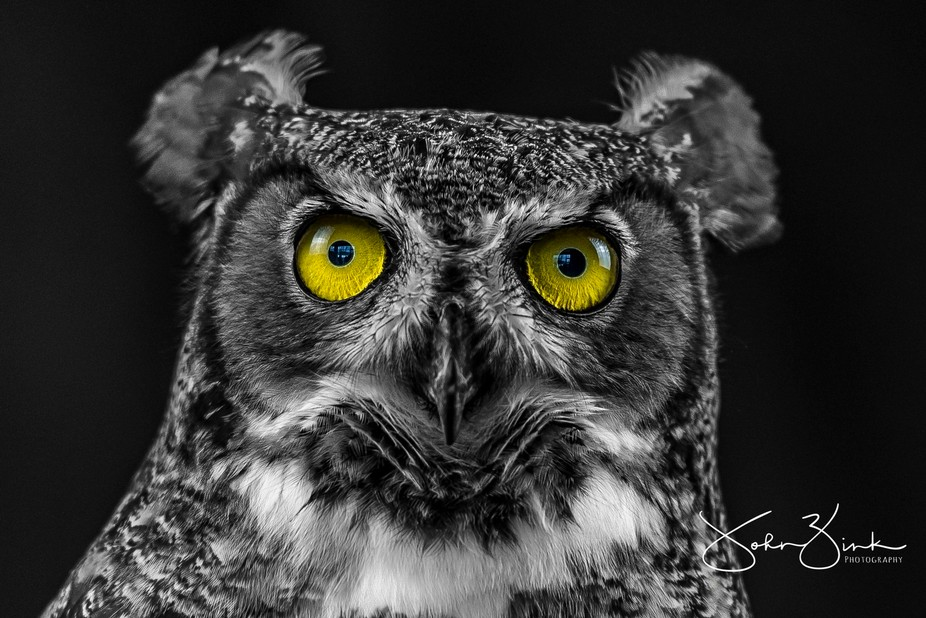 Great Horned Owl during a studio session