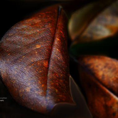 Old Magnolia Leaves