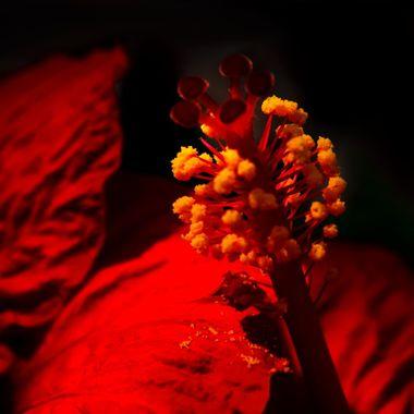 Hibiscus Stamen with Pollen Drops