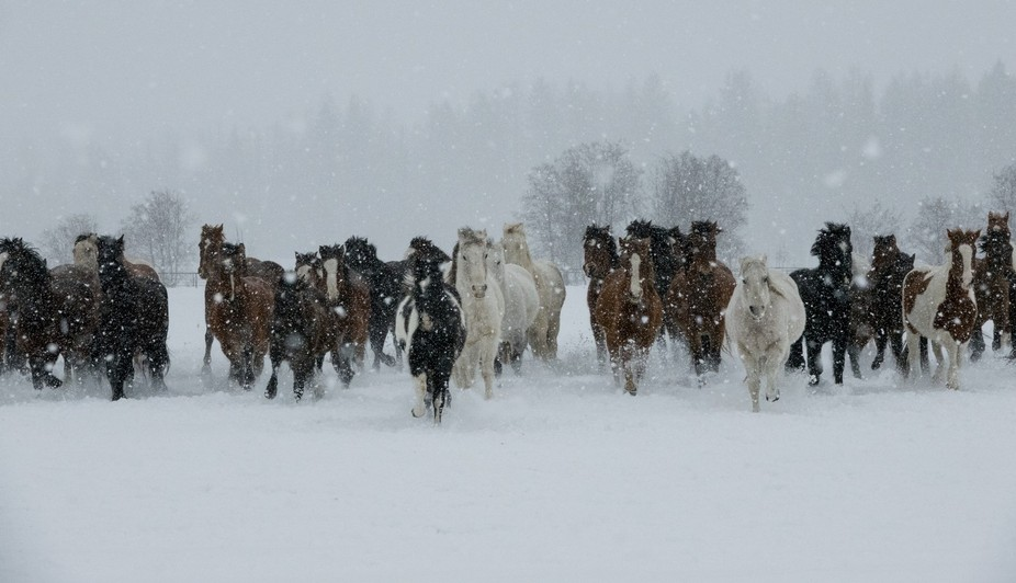 Herd of horses running in the snow