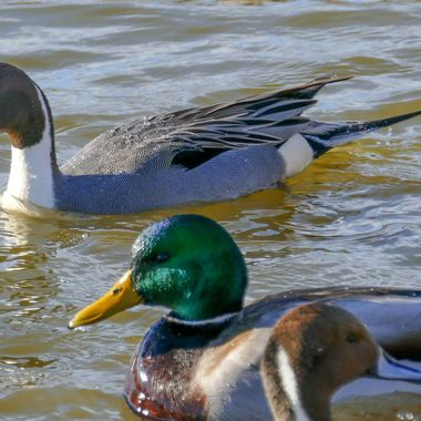 Here we have three pintails and  a Mallard. These are at the bird sanctuary and expecting everyone is there to feed them.