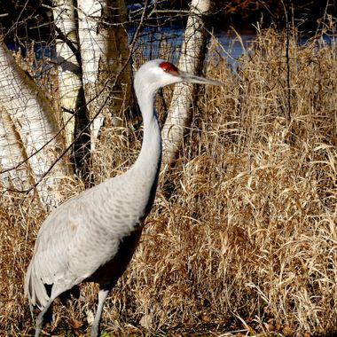 A Sand Hill Crane is quite comfortable around people in the bird sanctuary.