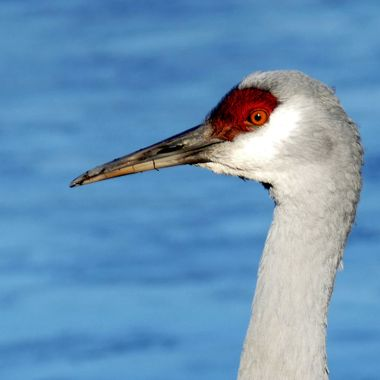 A Sand Hill Crane at the bird sanctuary in Twassen B C