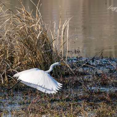 White Egret at Bringle Lake