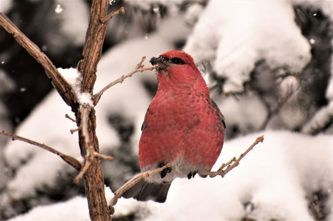 Shot the neighbors birds 2 21 18 during snow Nikon D 3400 softened background