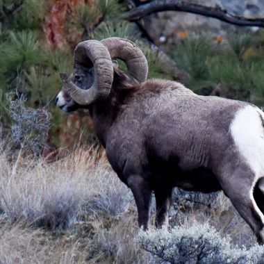 This Bighorn Ram is considered a full curl to trophy hunters.