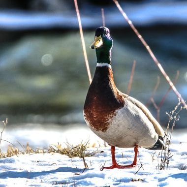 This Mallard is  apparently expecting me to feed him.