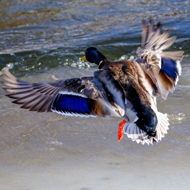 A mallard flying to a feeding area at Merritt B C