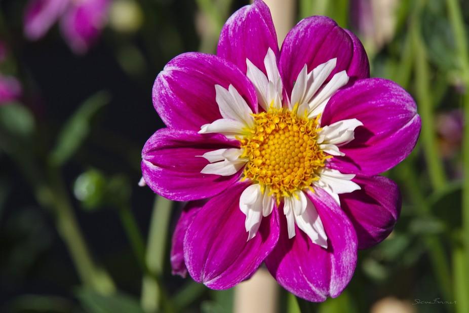A flower in Ballarat Botanical Gardens   K1SB4942