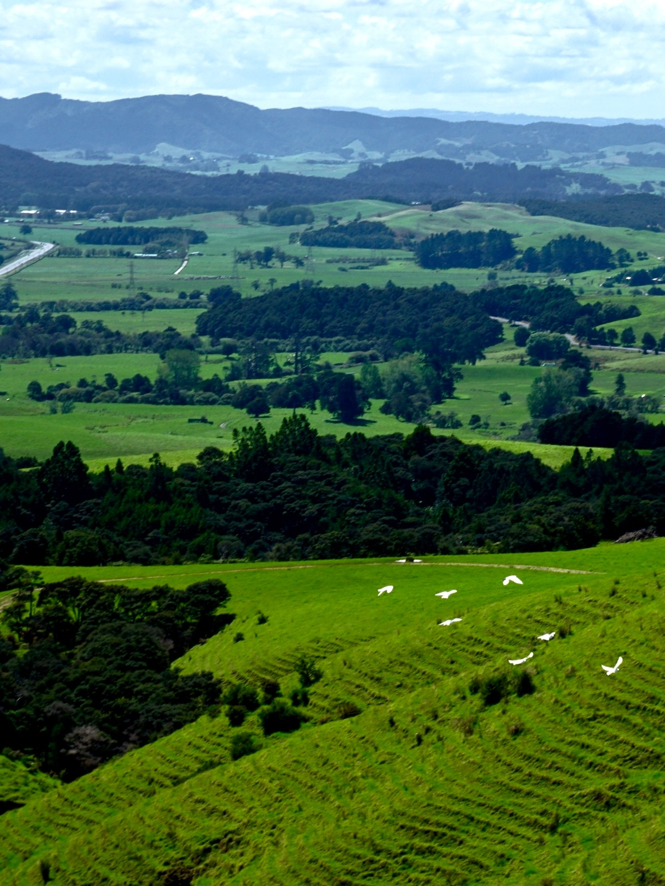 A flock of white doves fly across a northland farm