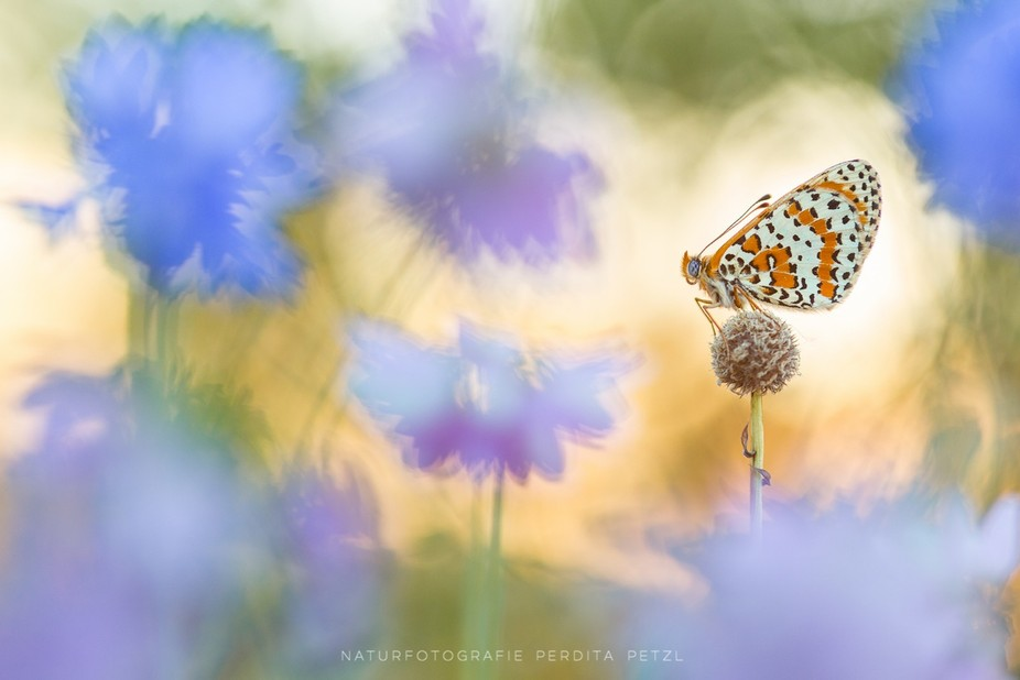A spotted frittilary at sunrise. Macros with a monochrome background often seem to me as if the i...