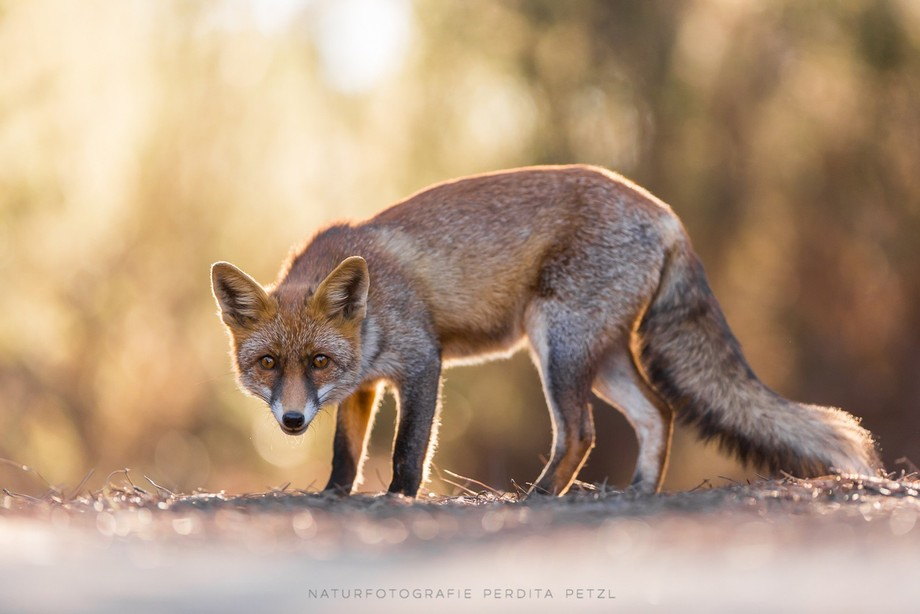 A red fox in the late afternoon.