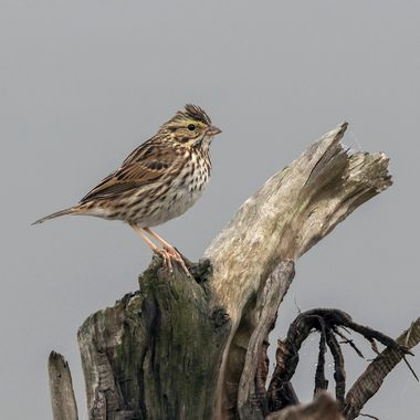Savannah sparrow - on an old piece of wood. taken on a foggy morning. Highlights the subtle markings in the bird!