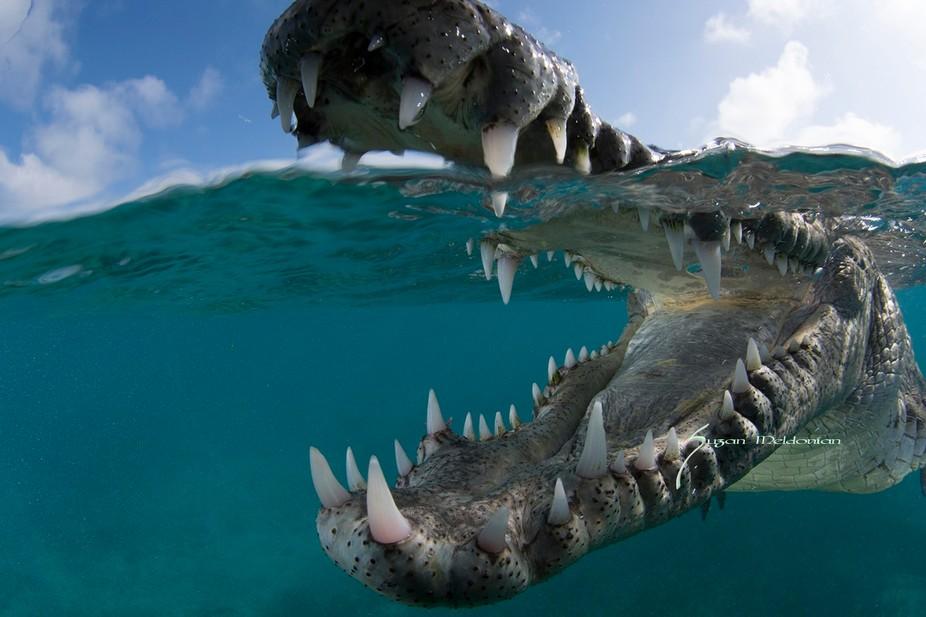 American crocodile in the mangroves of Jardinas de la Reina in Cuba mouth open barring teeth.