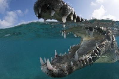 American Crocodile 0ver-under 1-29-18-6952
