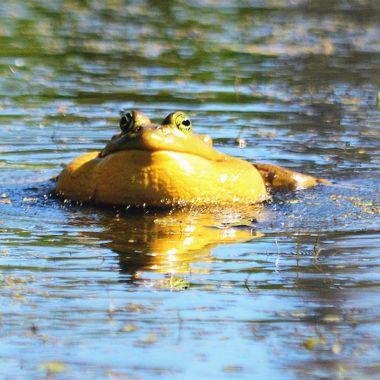 frog blurp