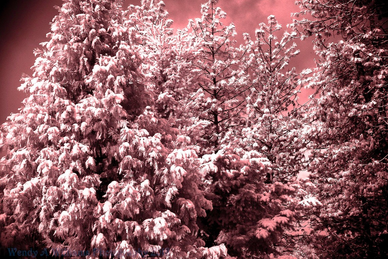 Our area in Southern Oregon got hit with a nice bit of snow, so I pulled out my infrared Nikon D610 Camera and got this snow covered pine just the way I wanted it.