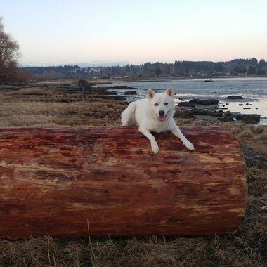 Fallen Log Rest Place on Courtenay's baby - Mowgli, little wolf - 2018 Feb 25