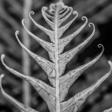 Fern leaf unfurling on a rainy morning