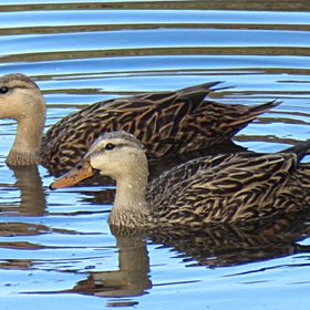 Pair of wading ducks