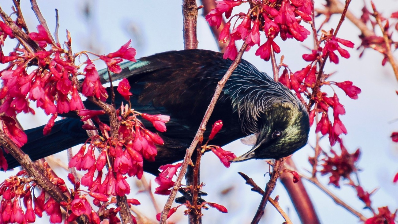 A NZ Tui feeding on nectar in the front garden of a house in Grey Street, Raetihi, New Zealand
