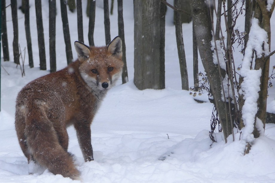 The Fox stopped to check me out while hunting for his next meal!