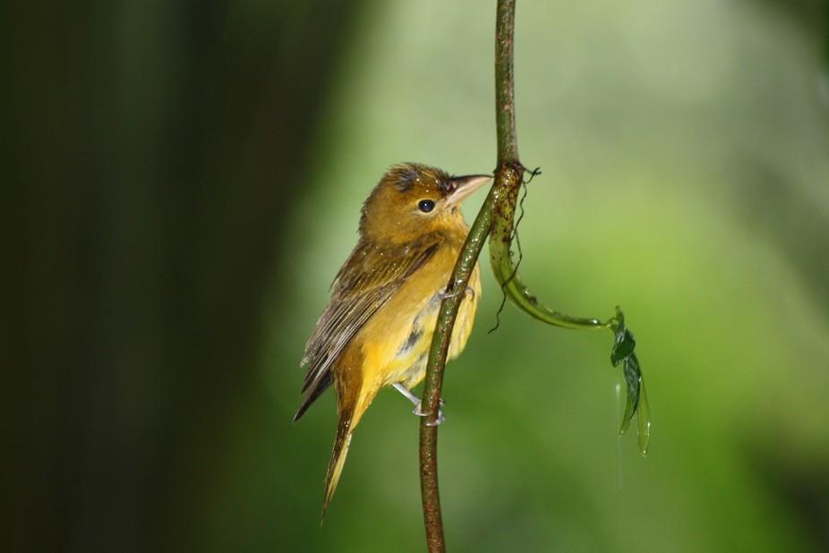 Bird from costa rica